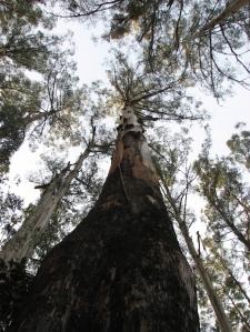 Eucalyptus_regnans_Sherbrooke